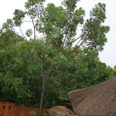 Harpephyllum Caffrum Wild Plum Wildepruim 6-10 m (15) S A no 361