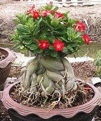 Desert rose bonsai from Chinese Bonsai Garden May Garden, Dream Garden, Bonsai Art, Bonsai Garden, Potted Trees, Trees To Plant, Ikebana, Mini Plantas, Desert Rose Plant