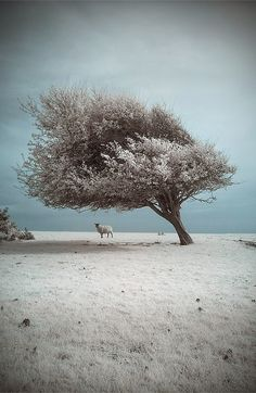 Wind swept tree in winter
