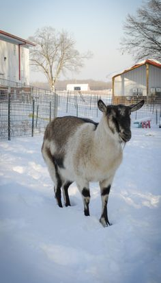 ► One of our alpine goats going for a walk in the snow. Check it out: http://gmsoap.co/1AiC4qO #goats #winter #farm