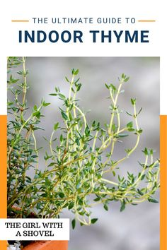 Bring your herb garden indoors for the winter! Here's exactly how to take care of your thyme plant indoors so that it stays healthy and harvestable all winter long! Thyme Plant, Apartment Plants, Best Indoor Plants, Low Lights, Plant Care, Herb Garden, Houseplants, How To Stay Healthy, Apartments