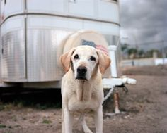 Portraits of the remaining search and rescue dogs of 9/11 ten years later.