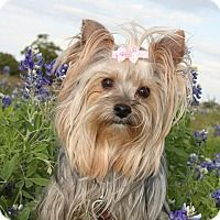 Adopt A Pet :: Daisy - Statewide and National, TX