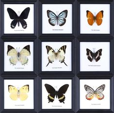 Assorted Real Butterflies Framed Mouted Under Glass - Pack of 3 Butterflies