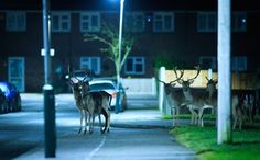 photos by mark smith and mark bridger who document, respectively, the fox and the deer who roam london and its suburban environs at night in search of food.