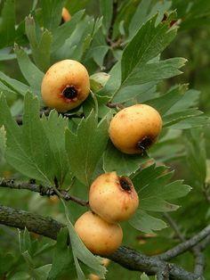 Azarole or Mediterranean Medlar (Crataegus azarolus) is native to the Mediterranean basin.