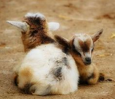 More baby goats