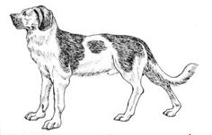 The Alpine Mastiff Dog Breed - a watchdog in the Swiss Alps.