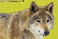 Amici Cucciolotti 2017: Fronte Figurina n. 172 Lupo grigio