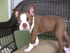 red boston terrier puppies are super cute