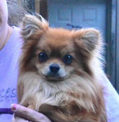 Bear is an adoptable Pomeranian Dog in Vernonia, OR. Please contact Christy ( christy@DisplacedPetsRescue.com ) for more information about this pet. Please see the Available page on our web site at ww...