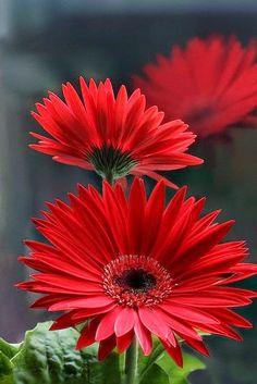 Gerbera Daisy ჱ ܓ ჱ ᴀ ρᴇᴀcᴇғυʟ ρᴀʀᴀᴅısᴇ ჱ ܓ ჱ ✿⊱╮ ♡ ❊ ** Buona giornata ** ❊ ~ ❤✿❤ ♫ ♥ X ღɱɧღ ❤ ~ Sat 07th Feb 2015