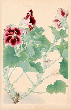 Pelargonium from Chigusa Soun Flowers of Japan Woodblock Prints 1900