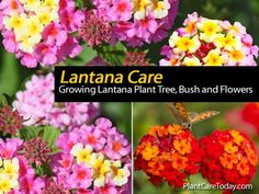 Lantana is a tropical shrub grown from cutting or seed for summer flowering outdoors in the North. Colors come in a variety of shades. Before frost, old plants may be cut back and carried over winter for another year.