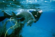 Marine Conservation News: August 2011. Researchers rescued nine Hawaiian monk seals caught in fish nets and other marine debris. #diver