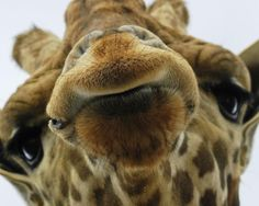 This Giraffe Is Snooty.