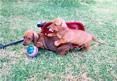 sweet Red Miniature dachshund puppies playing :)