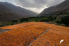 Drying apricots in Zarafshan valley! #tajikistan, #mountains, #travel paramountjourney.com