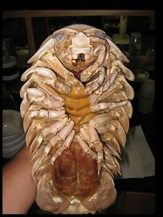 Giant Isopod - its enormous size is a result of a phenomenon known as deep sea gigantism. This is the tendency of deep sea crustaceans and other animals to grow to a much larger size than similar species in shallower waters. Deep Sea Creatures, Weird Creatures, Unusual Animals, Cute Animals, Strange Animals, Interesting Animals, Large Animals, Funny Animals