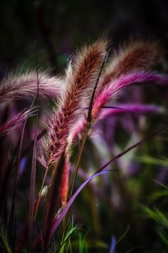 Purple fountain grass by Sirinat Tanamai on 500px