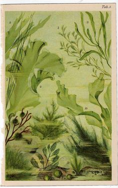 1890 sea flora original antique ocean print by antiqueprintstore, $32.50