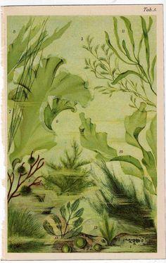 1890 sea flora original antique ocean print by antiqueprintstore