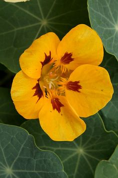 "The nasturtium has been called a ""gift to the gardener"" because of its characteristic ease of growth."