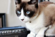Learn all about the Snowshoe cat breed, including their personality, caring for your Snowshoe cat, and some interesting facts.
