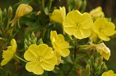 8 Natural Foods to Eat for Pain Relief  8. Evening Primrose.   Usually found as an oil, this flower's powers have been linked to treating atopic dermatitis (a chronic itchy skin condition), rheumatoid arthritis, and PMS symptoms[14][15]. The gamma-inolenic acid in the oil has anti-coagulant effects that may help reduce the effects of cardiovascular illnesses[16].