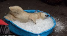 Just chilling out! Adorable polar bear cub Nora plays in a kiddie pool filled with ice at Oregon Zoo | Daily Mail Online