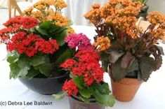 Image result for kalanchoe blossfeldiana summer container garden