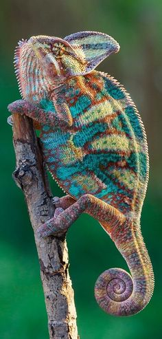 I thought this was a super cool knitted chameleon done in sock yarn! It is really a beautiful photo of a real chameleon, but it gave me the fun idea of knitting one up! Beautiful Creatures, Animals Beautiful, Nature Animals, Animals And Pets, Cute Animals, Colorful Animals, Reptiles Et Amphibiens, Mammals, Flora Und Fauna