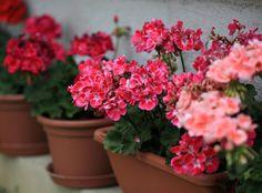 gartenpflanzen für die fensterbank dekoration im außenbereich