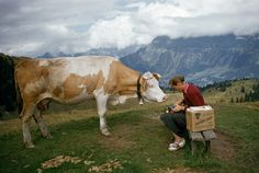 A curious cow on a hilltop tries to nibble a woman's camera in Switzerland, November 1956.