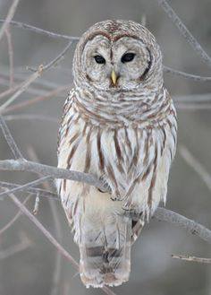 Strix Varia (Barred Owl) - Spun: http://www.craftster.org/forum/index.php?topic=374440.0