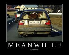 """This """"Meanwhile in Austria"""" meme with the two cows (actually calves) in the car has been making the rounds on the internet, and many have wondered if the picture is real and what is the…"""
