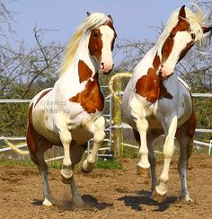 Pair of Paint horses playing around rearing up. They are beautiful! They are almost twins. Imagine them pulling a horse carriage!