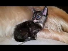 Tiny 3 Week Old Foster Kitten Snuggling In Dog's Furry Arm Hair - English Cream Golden Retriever - YouTube
