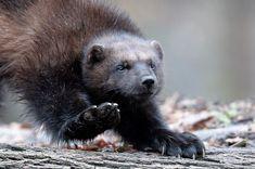 Wolverine Images, Wolverine Animal, Arctic Animals, Animals And Pets, Cute Animals, Fierce Animals, Wolf, Wild Creatures, Wolverines