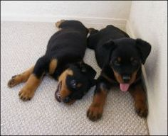 Puppy Life Stages: from Birth to Adulthood