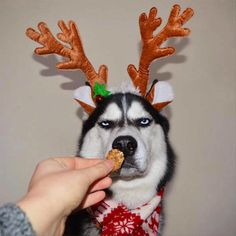 Owner Attempts To Do A Christmas Card Photoshoot With Her Husky, And The Results Are Just Too Funny - World's largest collection of cat memes and other animals Funny Animal Pictures, Funny Photos, Funny Animals, Cute Animals, 9gag Funny, Funny Dogs, Cute Dogs, Funny Christmas Images, Christmas Humor