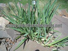 1500 REED CANARY GRASS Phalaris Arundinacea Seeds
