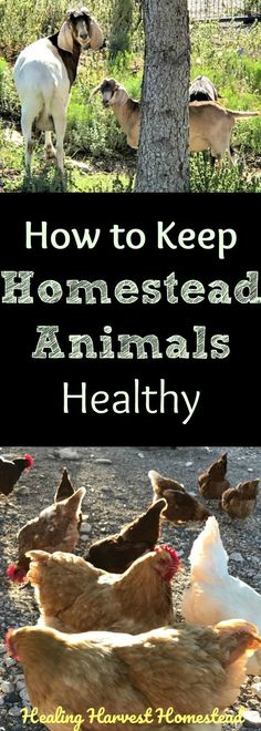 "Livestock-type animals and poultry have special health needs, and many veterinarians don't work on these ""specialty"" animals. Here's how to keep your chickens, goats, and rabbits healthy, and what items you should keep in your pet medical emergency kit...just in case. Advice from experienced experts about homestead animal care and health."