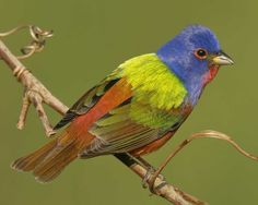 Painted Bunting - front yard in FL