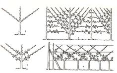 taille bio des arbres fruitiers abricotier cerisier prunier vigne p cher pommier poirier. Black Bedroom Furniture Sets. Home Design Ideas