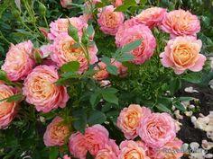 """""""Briosa"""" Rose Trellis, Rose Care, Planting Roses, Rose Photos, Amazing Flowers, Landscape Design, Repeat, Istanbul, Floral Wreath"""