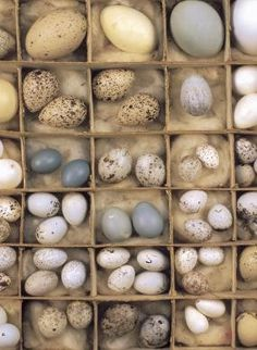 Bird's egg collection.