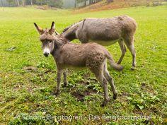 Esel/Mullis am Wölflhof am E5 Fernwanderweg zwischen Deutschnofen und Bozen - Foto: Mario Hübner Kangaroo, Goats, Mario, Animals, Roses Garden, Donkey, Hiking, Italy, Baby Bjorn