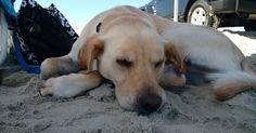 Salty dog taking an afternoon nap on the beach.  Jaime Pennington