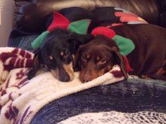 Kady and Poncho at Christmas 2012.